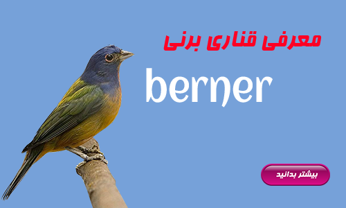 berner | قناری برنی | کلبه قناری شهریار