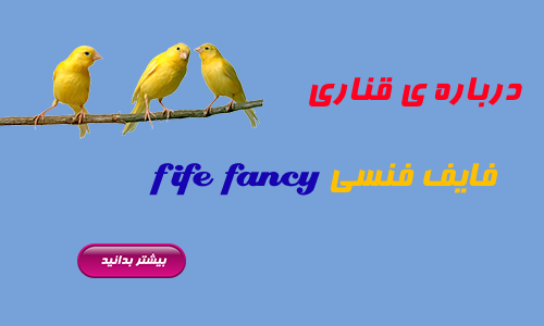 fife fancy | فایف فنسی | انواع قناری | کلبه قناری | فروشگاه دارو پرنده وغذای پرنده