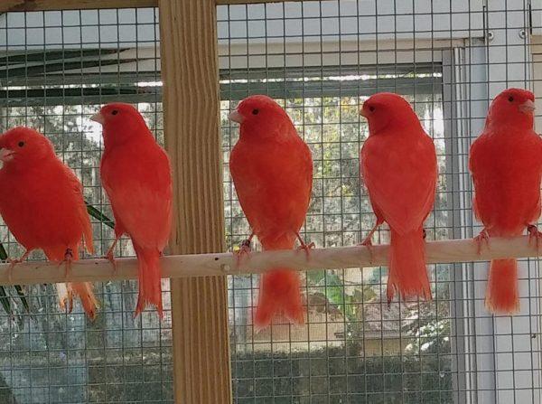 رنگ دانه قرمز قناری
