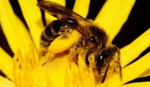 گرده زنبور عسل برای پرندگان