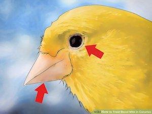 عفونت چشم قناری