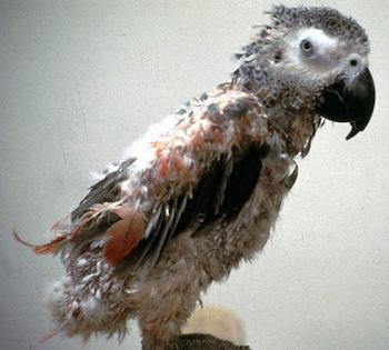 بیماری های پرندگان