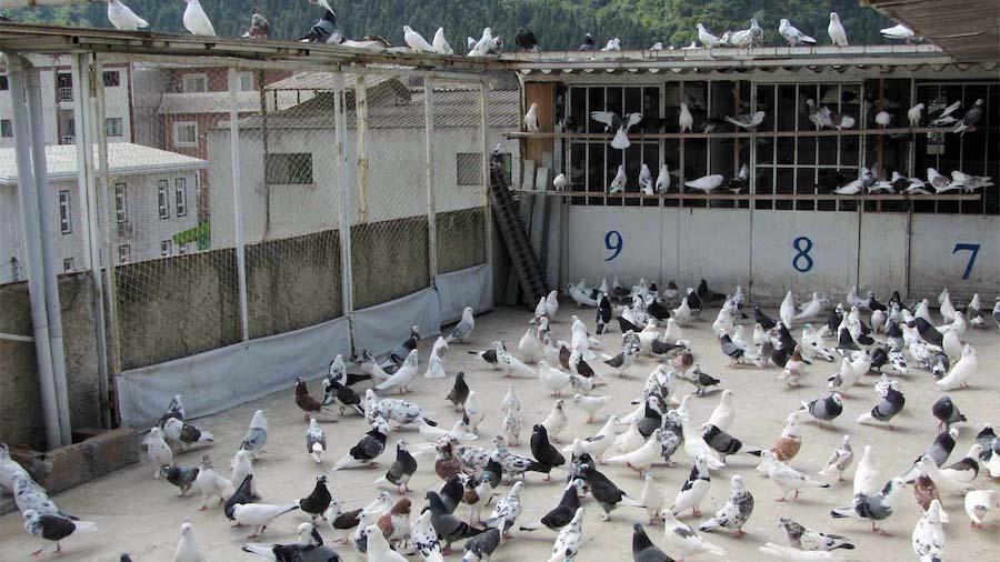 کبوتربازی یا کفتربازی