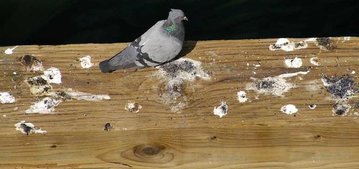 تشخیص اسهال کبوتر از مدفوع