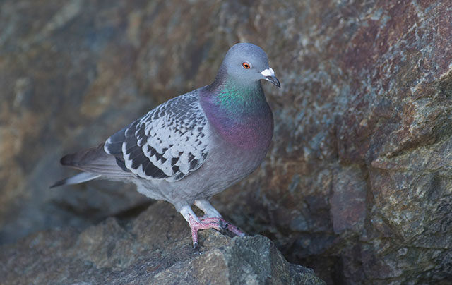 درمان خانگی اسهال کبوتر